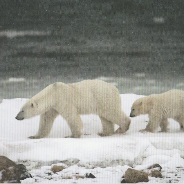 Ansichtkaart IJsberen.