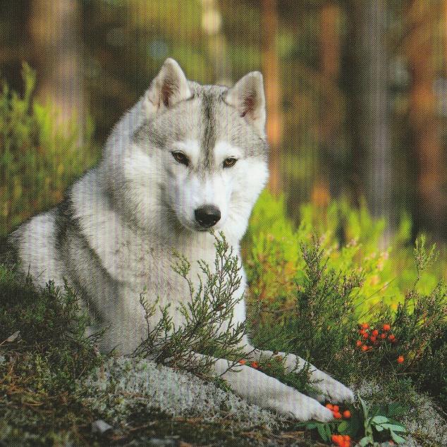 Ansichtkaart Wolf.