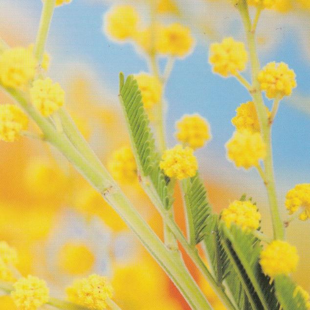 Ansichtkaart Mimosa.