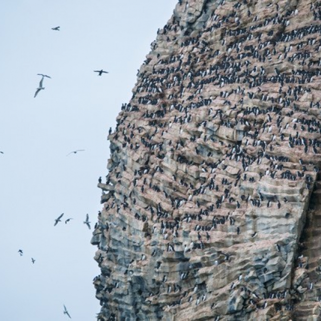 Postcard Guillemots on a Clif.