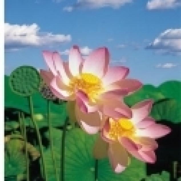 Ansichtkaart Lotus Bloem.