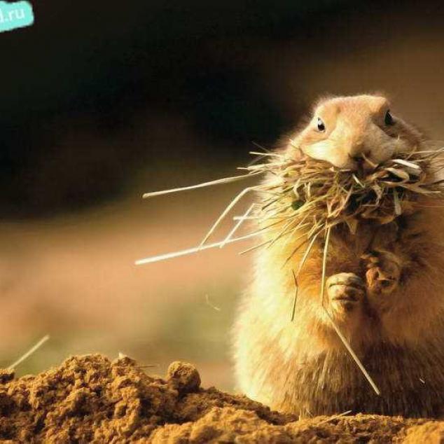 Ansichtkaart Marmot met mond vol.
