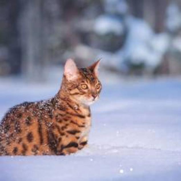 Ansichtkaart Kat in de Sneeuw.