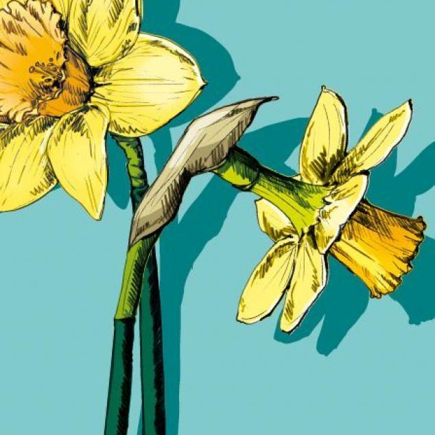 Ansichtkaart Narcis.