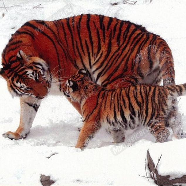 Ansichtkaart Tijgers in de Sneeuw.