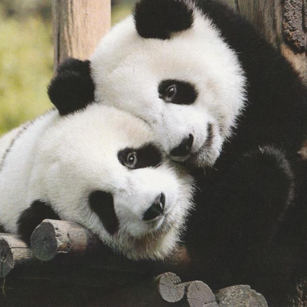 Ansichtkaart Panda Koppel.
