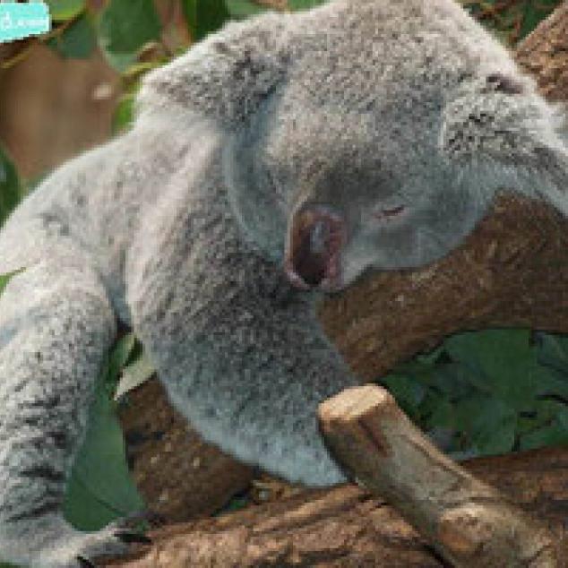 Ansichtkaart Slapende Koala.