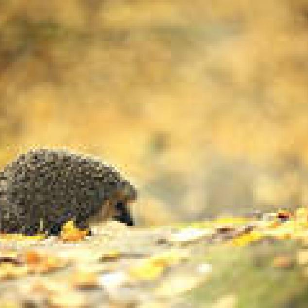 Ansichtkaart Egeltje wandelt door het bos.
