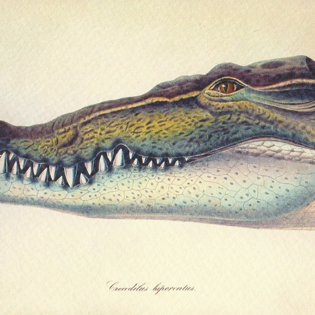 Ansichtkaart Krokodil