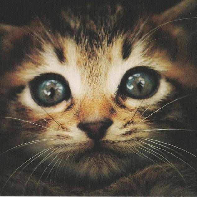 Ansichtkaart Kitten